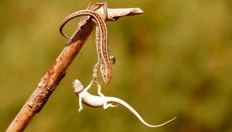 Helping Scene - The Lizard's Love For Her Partner