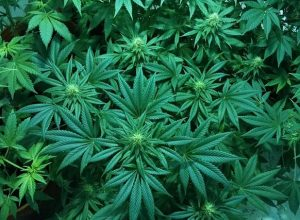 Surprising Health Benefits of Cannabis