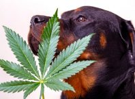 CBD vs. Medical Marijuana For Dogs