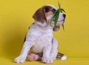 Pet Care: Benefits Of Using CBD Oil For Dog